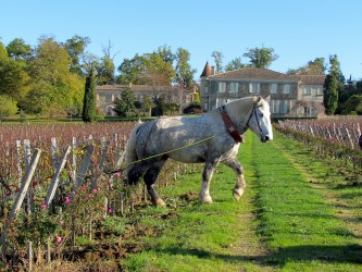 Horse working the Vineyard