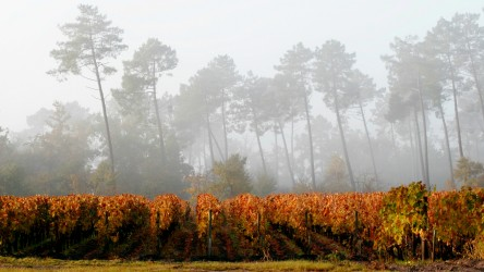 Domaine de Chevalier vineyards in autumn